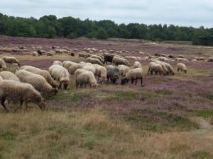 Schapen in Drenthe