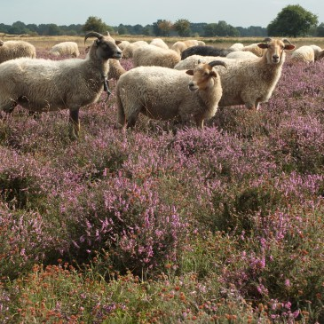 Bijdrageregeling schaapskudden Drenthe onvoldoende