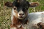 Lammertijd bij de Drentse kuddes
