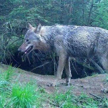 Drentse kuddes bereiden zich voor op komst wolf