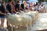 Keuringsdag voor schapen in het Duitse Uelsen