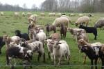 De tien Drentse kuddes trekken gezamenlijk op